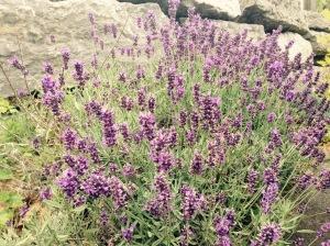 Lavender blossoms (Prince Edward County, Canada)
